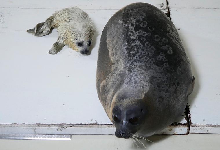 世界一小さいアザラシ「ワモンアザラシ」の赤ちゃん誕生02