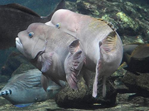 魚類2種 日本で初めての繁殖に成功!  「コブダイ」・「オイランヨウジ」の繁殖賞を受賞しました。