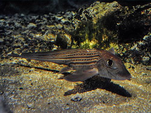 エコアクアローム「鴨川海底谷」にて  長期の飼育が難しい深海魚、ギンザメの展示を開始