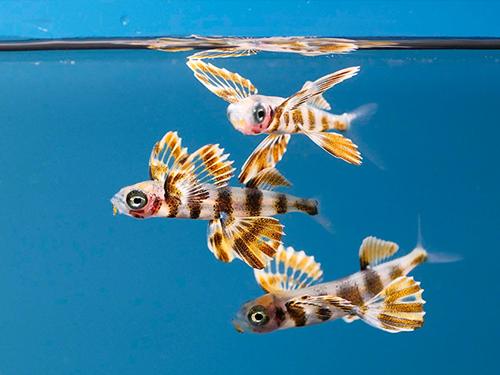 夏の魚「トビウオの展示」開始