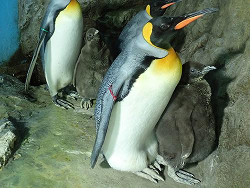 オウサマペンギンのヒナが成長中