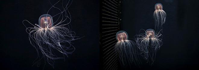 春の訪れを告げる「カミクラゲ」を展示開始  4月上旬まで展示公開