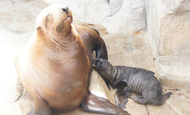 ロッキーワールド「トドの海」で  トドの赤ちゃんが生まれました!