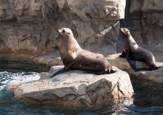 山武市で保護されたトド 近況報告  2014年12月6日 「トドの海」に移動しました。