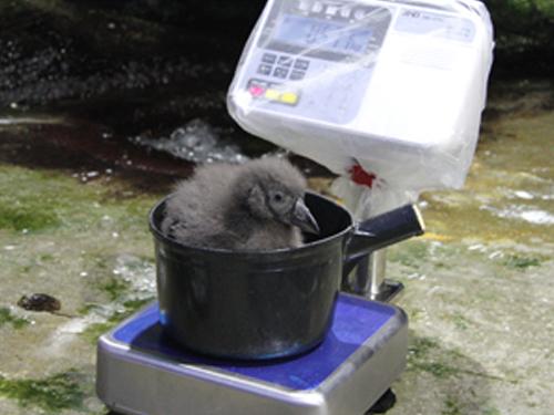 鴨川シーワールド エトピリカのヒナが8月11日にふ化2ヶ月後の巣立ちに向けてすくすくと成長中!