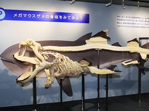 世界初!「メガマウスザメ」全身骨格標本を一般公開