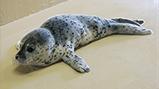 2016年5月12日(木)千葉県長生郡一宮町 一宮海水浴場にて  ゴマフアザラシの幼獣を保護しました。