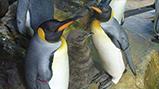 世界初!鴨川シーワールドでオウサマペンギンの人工授精に成功