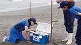 アカウミガメの卵を鴨川シーワールド内「ウミガメの浜」に保護しました