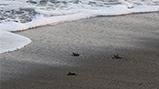 「ウミガメの浜」で保護したアカウミガメの卵がふ化 子ガメを東条海岸より放流